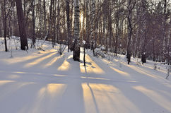 Winter sun in a birch forest Royalty Free Stock Photos
