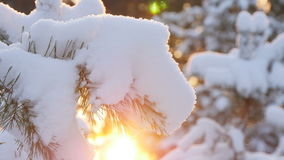 Winter sun breaks through the snow-covered fir branches. Pine branch in snow. Winter sunset in the forest stock video