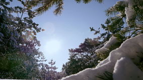 Winter sun breaks through the snow-covered fir branches. Pine branch in snow. Winter sunset in the forest stock footage