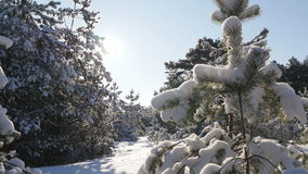 Winter sun breaks through the snow-covered fir branches stock video footage