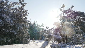 Winter sun breaks through the snow-covered fir branches stock video
