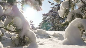 Winter sun breaks through the snow-covered fir branches royalty free stock photo