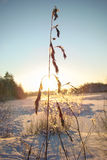 Winter sun. Cereal weeds on the background of the setting winter sun Stock Photo