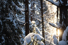 Winter sun. Cold day in the Russian forest Stock Photos