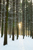 Winter sun in forest Royalty Free Stock Photography