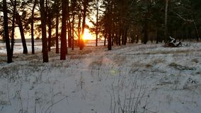 Winter and sun landscape forest. christmas sunlight tree beautiful sun winter forest snow a glare. Winter and sun landscape forest. christmas sunlight tree stock video footage