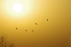 The winter sun in the yellow sky. With five flying mallard Stock Image