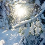 Winter sunlight in the pine forest with branch on a foreground Royalty Free Stock Image
