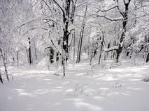 Winter. Sunlit forest covered with snow Royalty Free Stock Photo