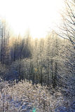 Winter sunlit forest Royalty Free Stock Photos