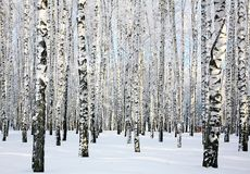 Winter sunny birch forest Royalty Free Stock Image