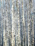 Winter sunny birch grove Royalty Free Stock Photos