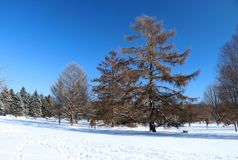 Beautiful winter nature background. Winter sunny day landscape with clear blue sky over spruces and trees in a park and footprints on a fresh snow cover on a Royalty Free Stock Photography