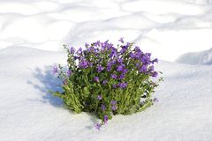 The first spring flowers breaking through the snow Royalty Free Stock Photo