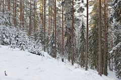 Winter sunny forest landscape. Royalty Free Stock Photo