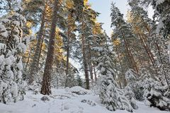 Winter sunny forest landscape. Stock Images