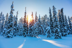 Winter Sunny Landscape with big snow covered pine trees Royalty Free Stock Images
