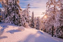 Winter Sunny Landscape with big snow covered pine trees Stock Photography