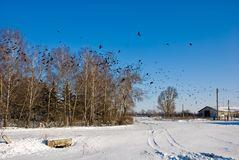 Winter sunny landscape with flight of crows Royalty Free Stock Image