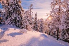 Winter Sunny Landscape mit großem Schnee bedeckte Kiefer Stockfotografie