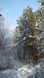 Winter in sunny warmth. Winter path in a forest grove. Just after fresh snowfall. on the branches there are snow caps. the dense forest forms a wall. Early stock photo
