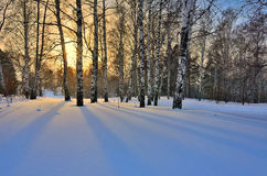 Winter Sunrise in the Birches Grove Stock Images