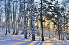 Winter Sunrise in the Birches Grove Royalty Free Stock Image