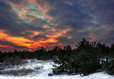 Winter sunrise in a pine forest with a fiery sky Royalty Free Stock Photography