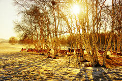 Winter sunrise. With silver birch and  the sheep ,Chifeng,china Royalty Free Stock Image