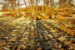 Winter sunrise. With silver birch and  the sheep ,Chifeng,china Royalty Free Stock Photos
