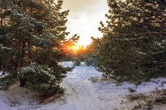 Winter sunrise. sunrise in a snow-covered pine forest. Stock Images