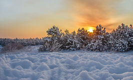 Winter sunset on a background of snow forest. Winter sunset on a background of pine forest Stock Image