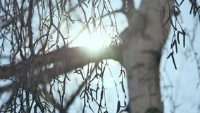 Winter Sunset in the birchwood. rays of the sun through the branches of the birch tree Russian traditions nature. Winter Sunset in birchwood. rays of the sun stock video footage