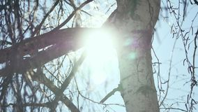 Winter Sunset in the birchwood. rays of the sun through the branches of the birch tree Russian traditions winter nature. Winter Sunset in birchwood. rays of the stock footage