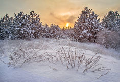 Winter sunset. Evening sun, sun setting behind the snow forest Stock Photography