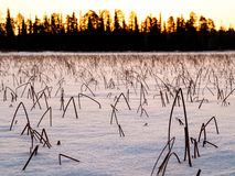 Winter sunset and frozen reeds covered with snow Royalty Free Stock Images
