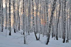 Free Winter Sunset In Birch Forest Stock Photo - 32564990