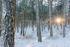 Winter sunset rays in wood between trees Stock Photography