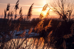 Winter sunset. Reed on the river at sunset Stock Image