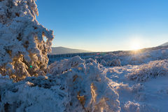 Winter sunset, sun rays fall on frozen juniper Royalty Free Stock Photography