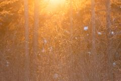 Frosty trees in snowy forest in sunlight. A winter sunset or sunrise in forest in frosty day. the sun shining through the tree branches stock photography