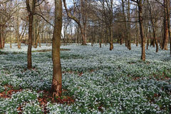 Winter Sunshine in an English Wood with Snowdrops Royalty Free Stock Photo