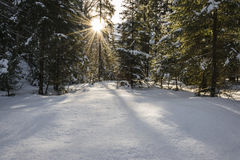 Winter sunshine in the forest. Sunny day in the snowy winter forest Royalty Free Stock Image