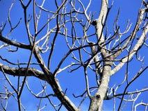 Dead magnolia tree. Winter sunshine illuminates the bare branches of a dead magnolia tree in Florida in December royalty free stock photography