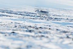 Winter Svalbard. Wild Reindeer, Rangifer tarandus, with massive antlers in snow, Svalbard, Norway. Svalbard deer on rocky mountain Royalty Free Stock Photography