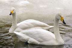 Winter swans. Two white swans in a winter conditions Stock Photography