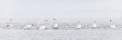 Winter, Swans, Swan, Bird, Pasture Royalty Free Stock Photos