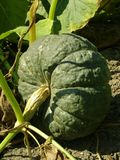 Winter sweet pumpkin Royalty Free Stock Photography