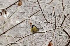 Winter swollen yellow Caucasian titmouse in snowy tree branches. Winter crouching Caucasian yellow titmouse sitting in snowy tree branches with snow in winter in royalty free stock photos
