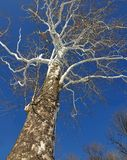 Winter Sycamore Tree. A huge American Sycamore tree (Platanus occidentalis) with beautiful white branches against a clear blue winter's sky royalty free stock photography
